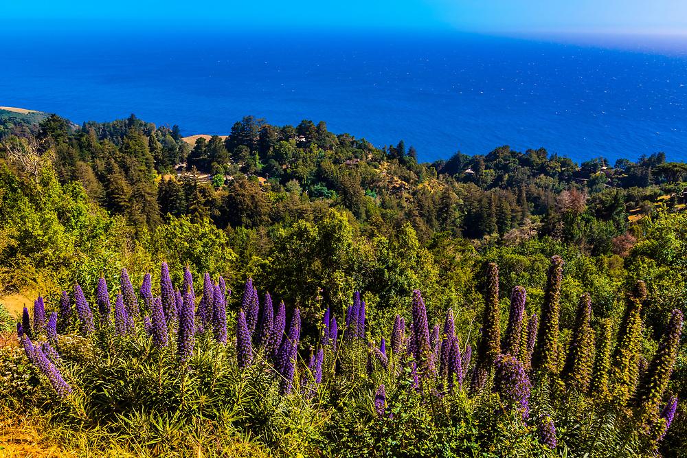 Lupine (flowering plants), Ventana Big Sur resort, Big Sur, California USA.