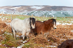 © Licensed to London News Pictures. 26/02/2020. Builth Wells, Powys, Wales, UK. Welsh mountain ponies turn their backs to the wind in the bitterly cold wind on the Mynydd Epynt range near Builth Wells in Powys, Wales, UK. after snow fell in Powys last light. Photo credit: Graham M. Lawrence/LNP