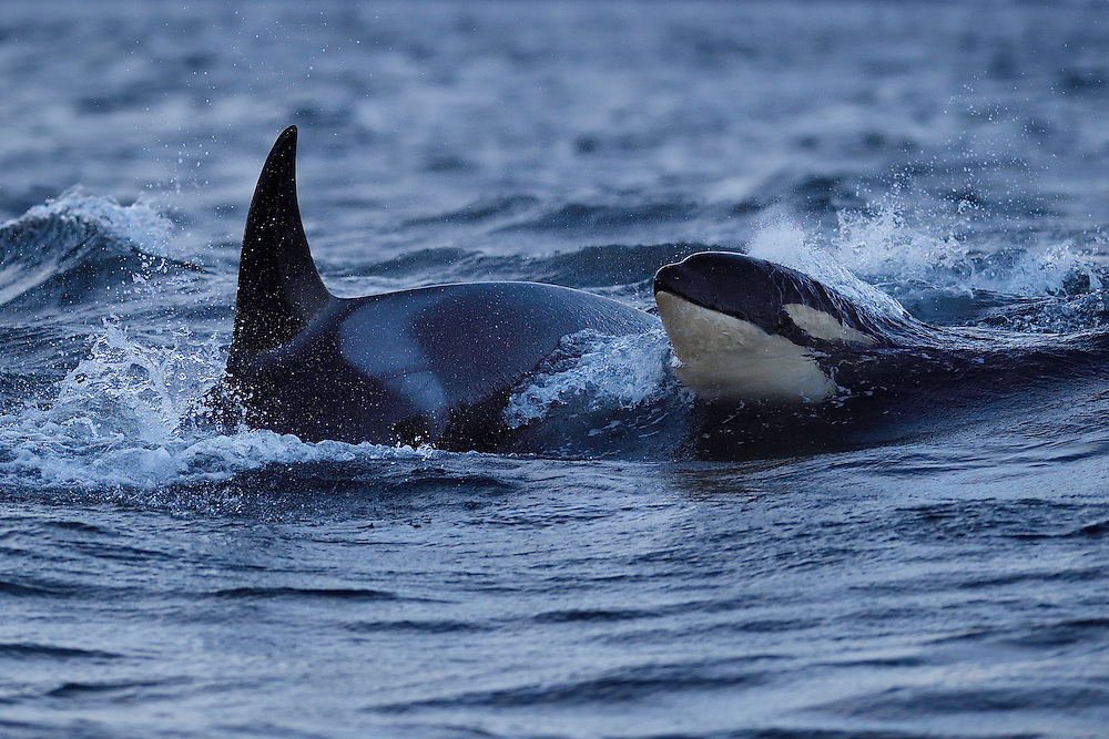 Orcas, or Killer whales, Orcinus orca, Senja, Troms county, Norway, Scandinavia