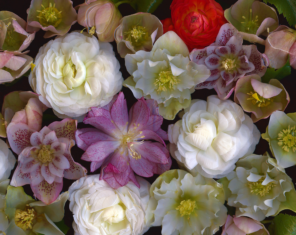 Ranunculus and Hellebores / #VAR223