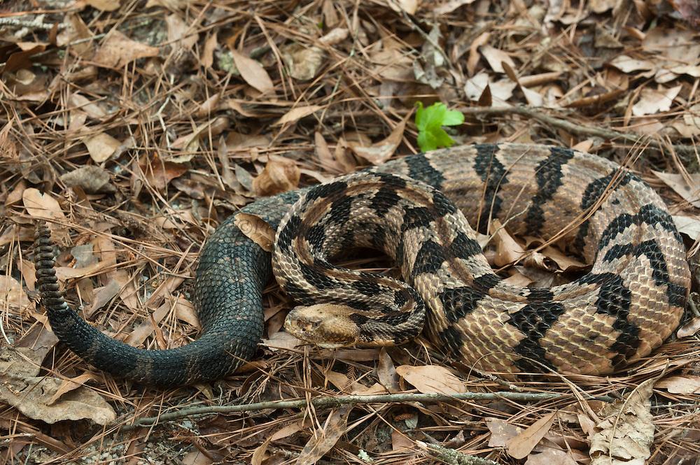 Canebrake or Timber Rattlesnake (Crotalus horridus) Adult, MANIPULATED, CAPTIVE<br /> The Orianne Indigo Snake Preserve<br /> Telfair County. Georgia<br /> USA<br /> HABITAT &amp; RANGE: Coastal Habitat. South Eastern USA