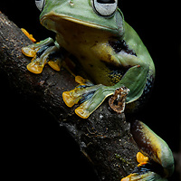 Perhaps one of the most beautiful of all Borneo's frogs: the Borneo Flying Frog (Rhacophorus borneensis). These gliding amphibians spend most of their life in the tree canopy, only rarely descending to ground level. Sarawak, Malaysia.