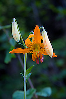 To the joy of anyone hiking in the summertime in the Pacific Northwest as far east as Montana, the Columbia lily (also known as the tiger lily) is easily one of the prettiest of our native wildflowers that commonly grow along mountain trails. This was one of hundreds found growing below Hurricane Ridge in the Olympic National Park in Washington State.