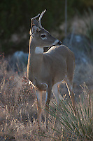 WHITETAIL BUCK SPIKE
