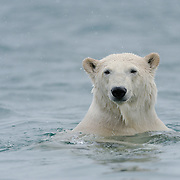 A polar bear in the waters around Svalbard, Norway.