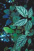 Begonias - Family Begoniaceae: exotic foliage.
