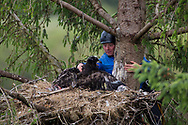 White Tailed Eagle (Haliaeetus albicilla) chick in nest being ringed by ringers.  scientist entering nest and securing chick