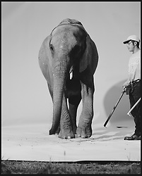 Elephant on white sweep