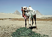 Camel eating from a pile of berseem clover near the Giza Pyramids, two of which are visible behind the creature.  Stems hanging from his mouth blur as he chews.