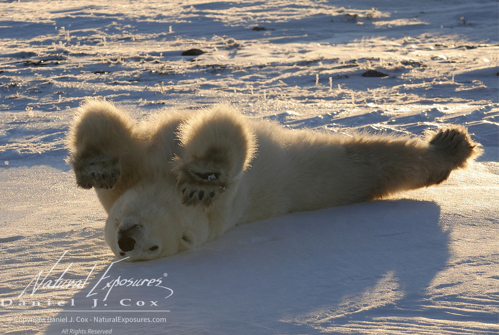A young polar bear rolling on his back. Hudson Bay, Manitoba, Canada