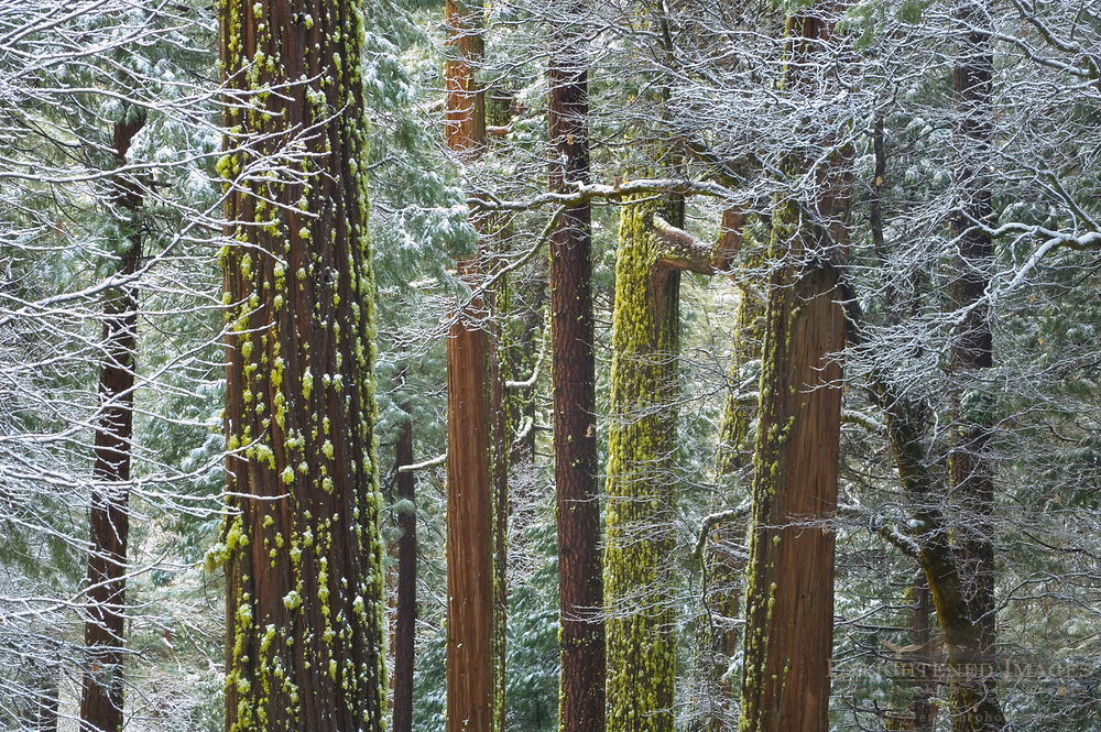 Fresh snow frosted branches on trees in mixed forest, Yosemite Valley, Yosemite National Park, California