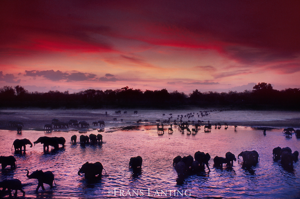 Elephants, Loxodonta africana, and cape buffaloes, Syncerus caffer, crossing Luangwa River at dusk, Luangwa Valley, Zambia