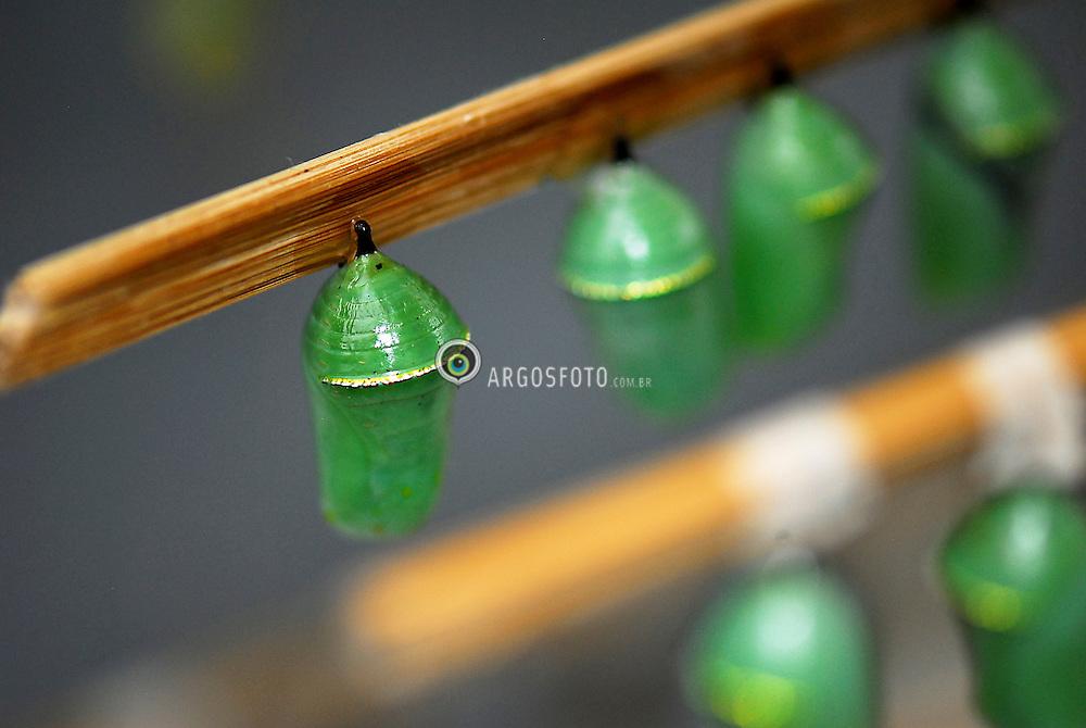 Casulos de Borboleta. / Butterfly's  cocoons.