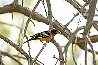 A male Black Headed Grosbeak picks leaves off of the willow trees and takes them back to line its nest.