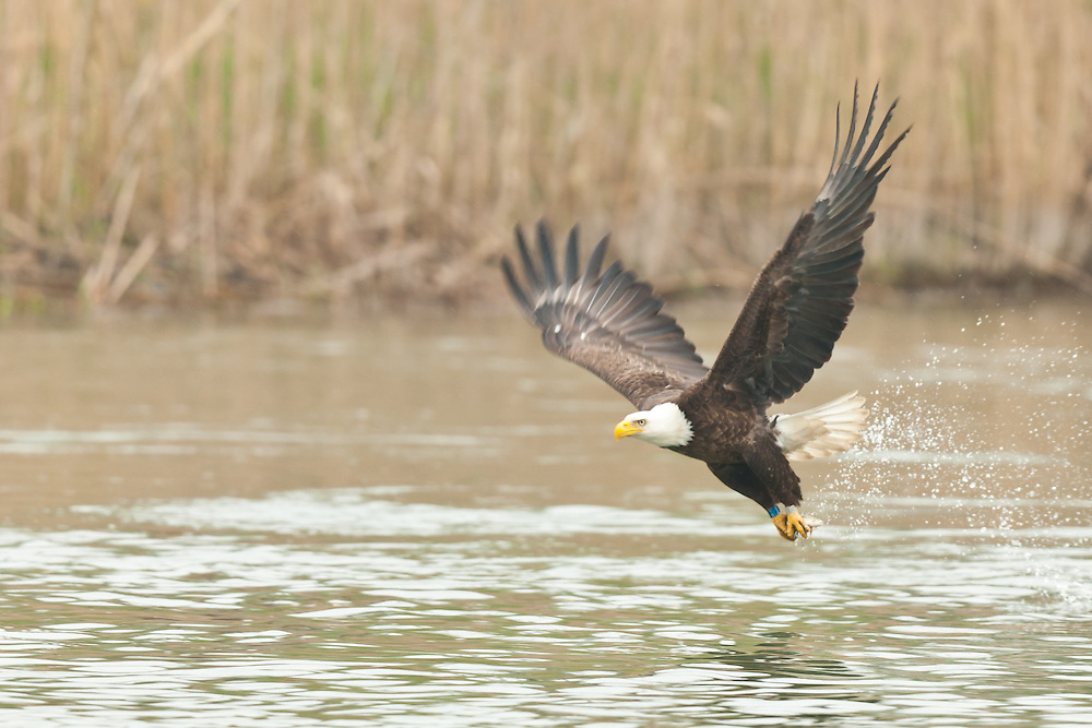 The adult captured a very small fish for one of the eaglets.