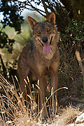 Iberian Wolf watching from cover (c)