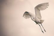 Great Egret (Casmerodius albus or Ardea alba)  in flight