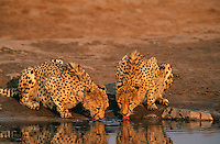 Two Cheetahs (Acinonyx Jubatus) drinking at waterhole