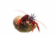 [captive] Blood-red hermit (Pagurus edwardsi) [size of single organism: 4 cm] Comau Fjord, Patagonia, Chile  