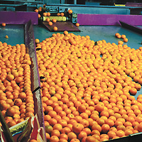 Local processing plants prepare the oranges for sale. Subcontractors transport the oranges throughout Europe to wholesale distributors.