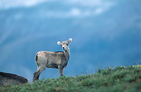 Dall's Sheep (Ovis dalli) - also known as Stone Sheep - Horseshoe Mountain, Muskwa-Kechika, British Columbia, Canada