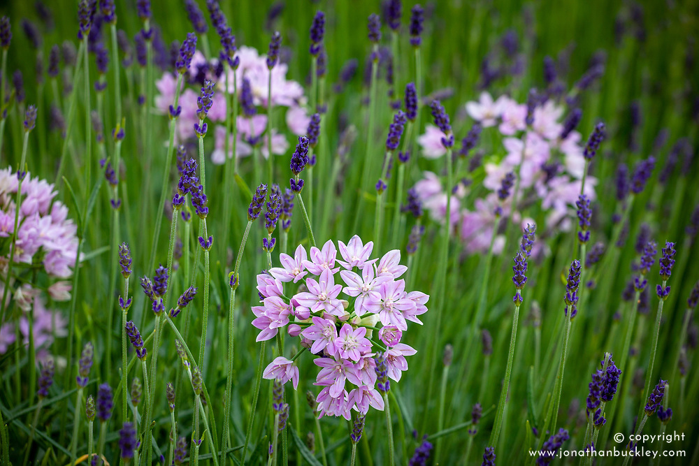 Allium unifolium AGM (American onion) with Lavandula angustifolia 'Munstead'. English lavender