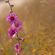 Bristly Hollyhock (Alcea setosa) pink spring flower, Photographed in Israel in April