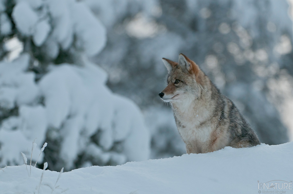 Coyote watching for its next opportunity on a snowy day.