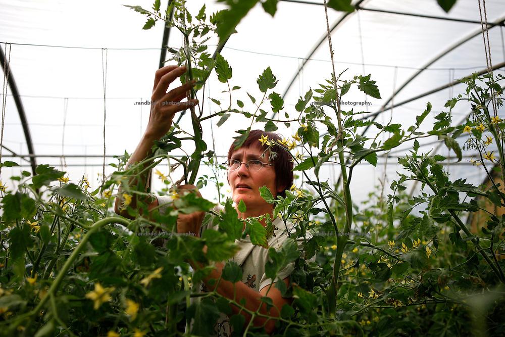 Geschäftführerin Uta Kaltenbach schneiden überschüssige Triebe ab und bindet im Gewächshaus ihres Gärtnerhofs Bienenbüttel Tomaten hoch.