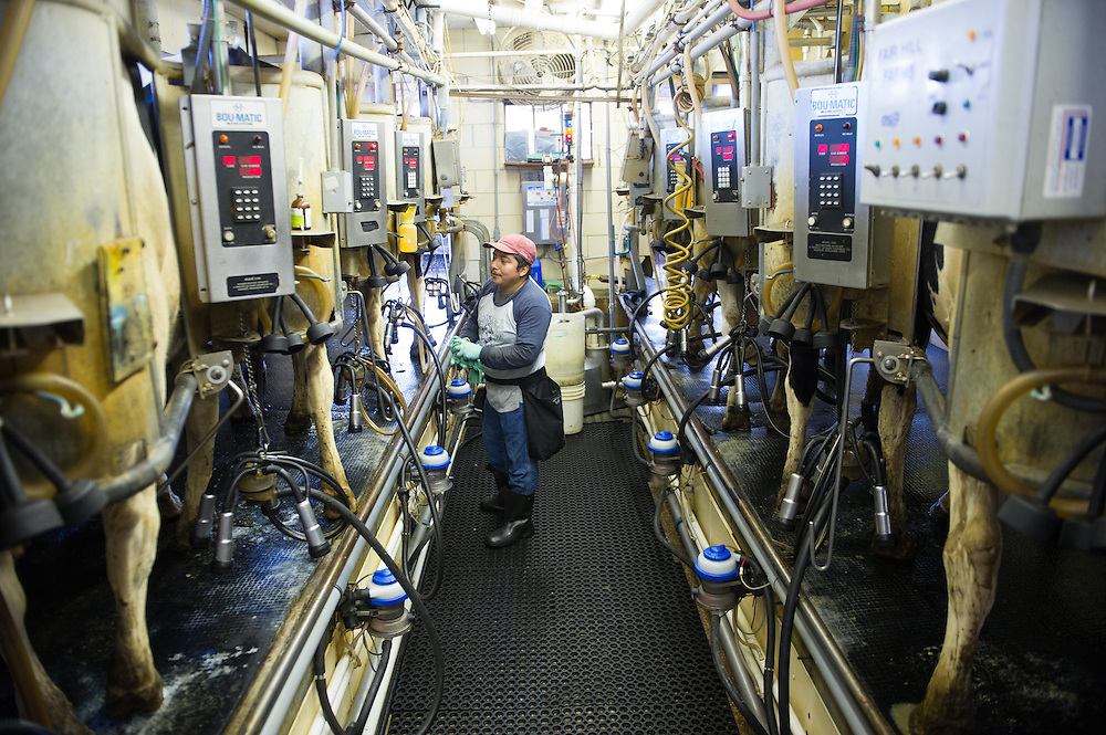 Technology for milking cows on a dairy farm