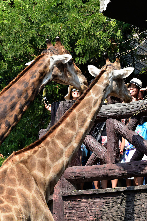 Crowd Feeding Giraffes at Dusit Zoo in Bangkok, Thailand<br />