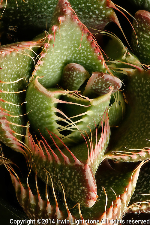 "Detailed focus stacked composite of  succulent nicknamed ""tiger jaws."""