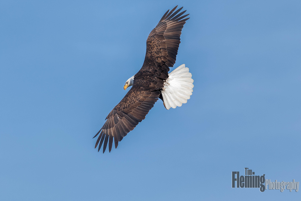 Bald eagle: Haliaeetus leucocephalus