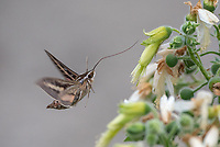 White-lined Sphinx, Hyles lineata feeding on a velcro plant on Isla San Jose in Baja California, Mexico.