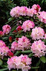 Rhododendron yakushimanum 'Ken Janeck'