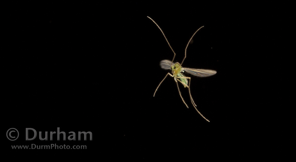 A tiny flying insect, or midge, flying at night at around 6400 feet in elevation, on a warm summer night in Montana. Photographed via permit at Big Hole National Battlefield.