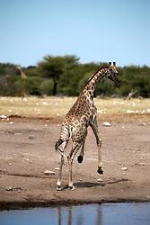 NAMIBIA ETOSHA 30APR14 - An Angolan giraffe jumps after drinking at a waterhole  near Namutoni, Etosha National Park, Namibia.<br /> <br /> <br /> <br /> jre/Photo by Jiri Rezac<br /> <br /> <br /> <br /> © Jiri Rezac 2014