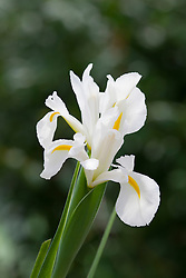 White Dutch Iris. Could be 'White Wedgewood' or 'Excelsior'