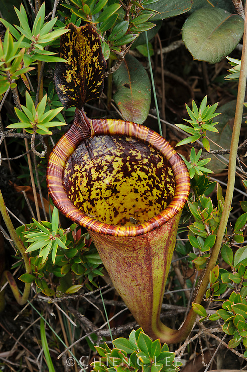 The large and colorful pitchers of Nepenthes attenboroughii can exceed a volume of several litres.  This newly discovered carnivorous plant is endemic to a single mountain on the island of Palawan, Philippines.