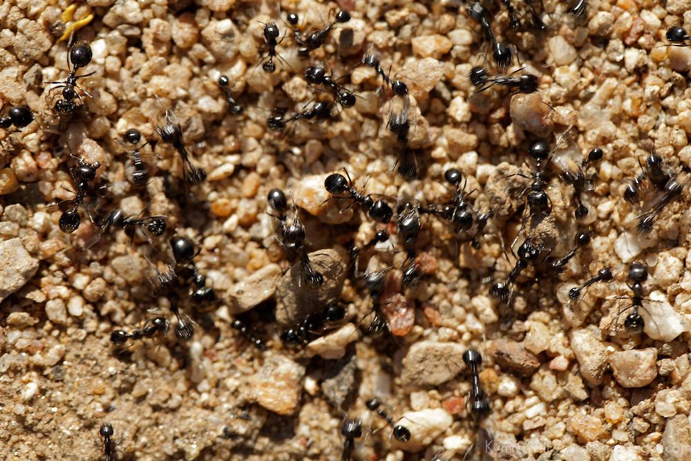 USA, California, San Diego County. Ants of Anza-Borrego Desert State Park.