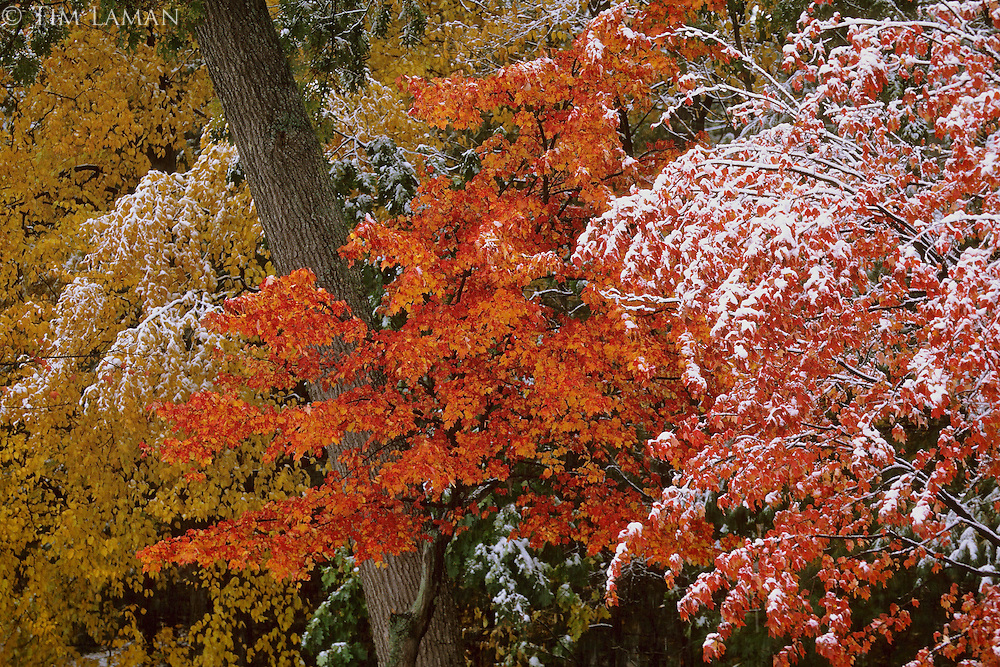 """October Snow"".October snow at Walden Pond coats colorful leaves.  Fall views at Walden Pond."