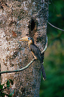 Austen's Brown Hornbill (Anorrhinus austeni) at the nest entrance holding fruit in bill.  Khao Yai National Park, Thailand