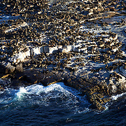 Seal Island is home to 64,000 Cape Fur Seals (Arctocephalus pusillus), various seabirds and the occasional African Penguin. The dense population of seals at certain times of the year attracts the seal's main predator, the great white shark (Carcharodon carcharias).  Seal Island and the adjacent waters provide rare opportunities to witness attacks by great whites on the Cape fur seal. The island has become famous for the size of the sharks and their hunting behavior. A shark launching an ambush will often breach the surface