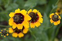 Black-eyed Susan, (Rudbeckia hirta), Gonzales County, Texas