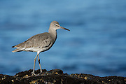 Willet in Pismo Beach, California