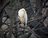 Intermediate Egret. Bharatpur-- Keoladeo Ghana National Park, Rajasthan, India. Image taken with a Nikon 1 V3 camera and 70-300 mm VR lens.