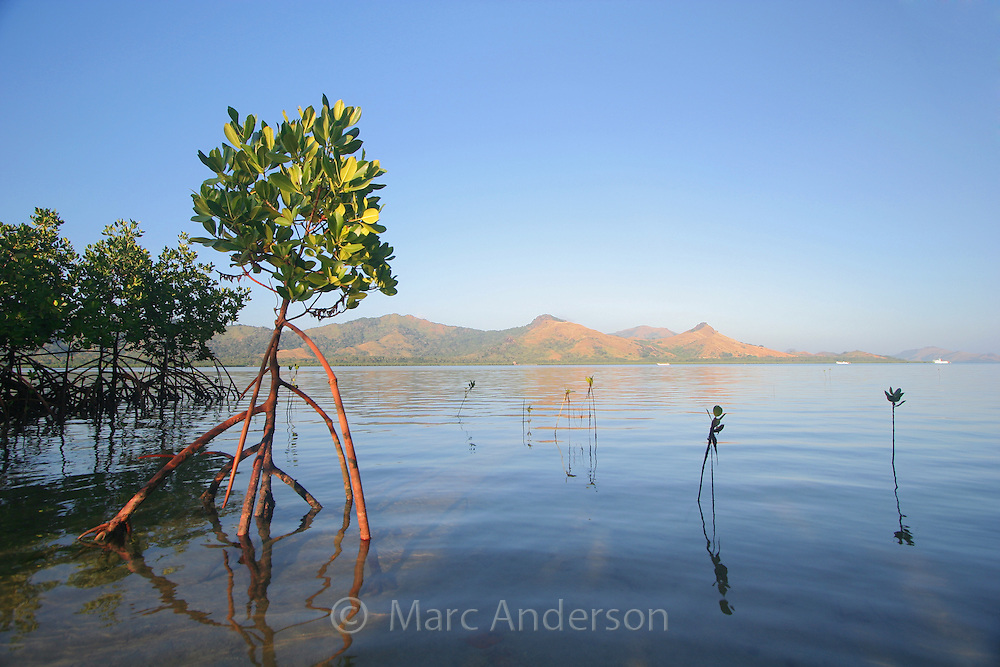 Mangrove trees and roots in a tidal estuary in Fiji.