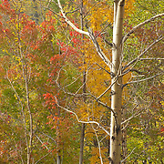 Birch trees and early fall color, Pinkham Notch, NH