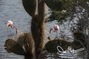 2 American flamingos feed in a brackish lagoon known as Cerro Dragon on Santa Cruz island in the Galapagos archipelago of Ecuador.