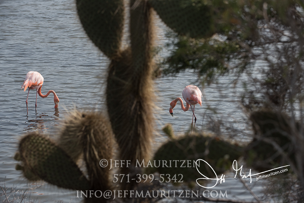 2 American flamingos feed in a brackish lagoon known as Cerro Dragon on Santa Cruz island in the Galapagos archipelago of Ecuador.